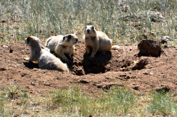 Arapaho Prarie Dogs
