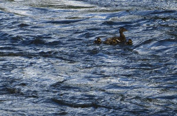 Flustered Ducks