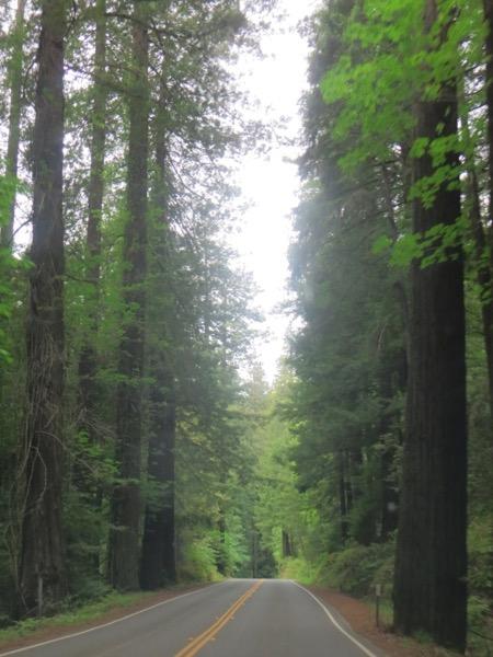 Redwoods in Humboldt Redwoods State Park